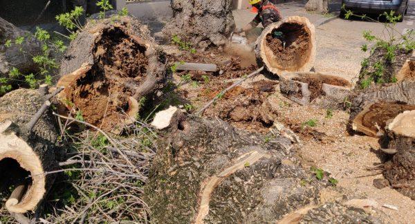 defrisari-copaci-periculosi